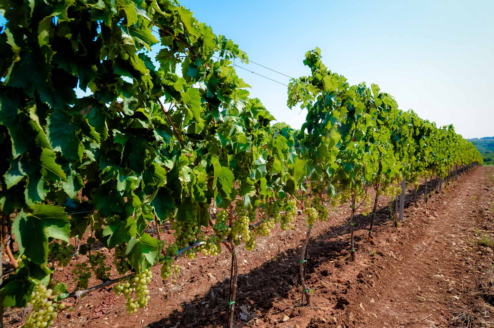Monterosso - vinograd