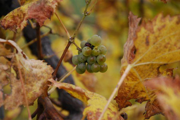 vinogradi sepp muster