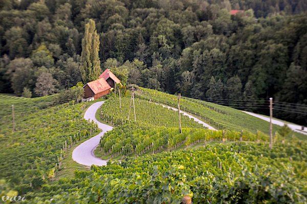 srce med vinogradi svecina1