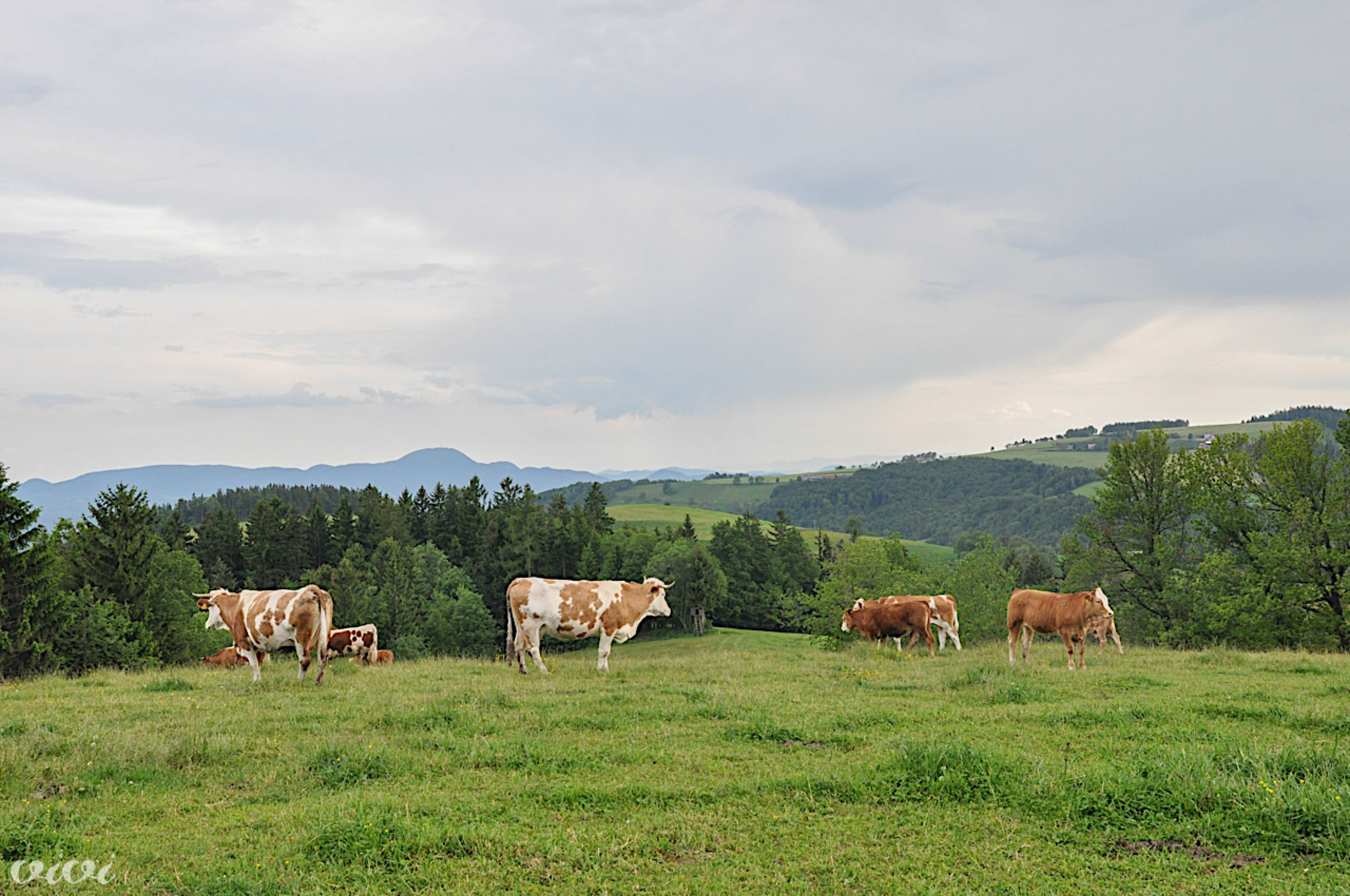 pri baronu19 eko krave1