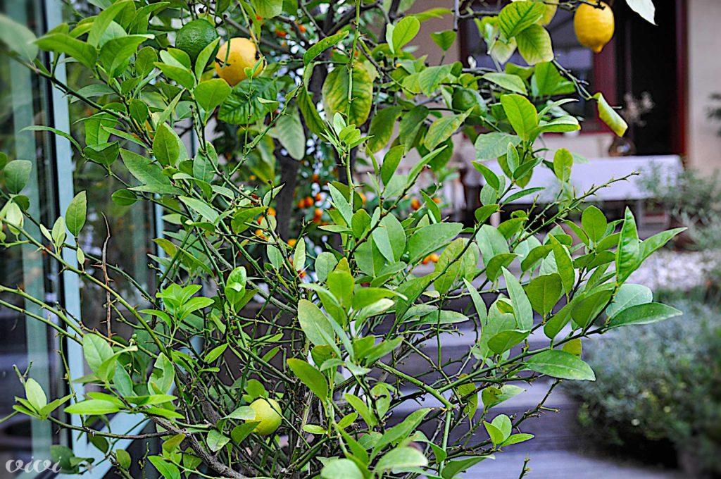 limete limone kumkvati